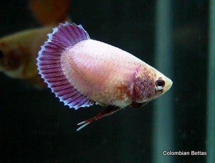 Colombian bettas enfermedades gen ticas for Betta fish friends