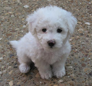 Cute Bichon Frise Puppy