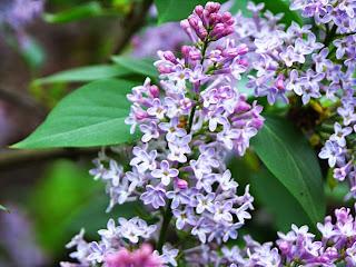 Dziennik Ogrodowy Badylka, kwiat bzu w majowym ogrodzie