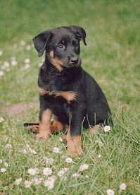Beauceron Puppy Picture