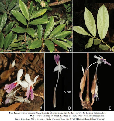 [Botany • 2015] Newmania sessilanthera • A New Species …