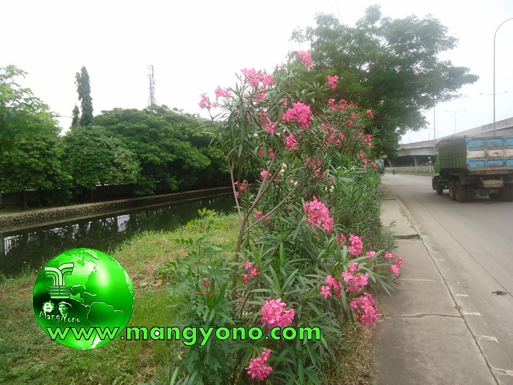 Bunga Oleander di tepi jalan. Jepret admin