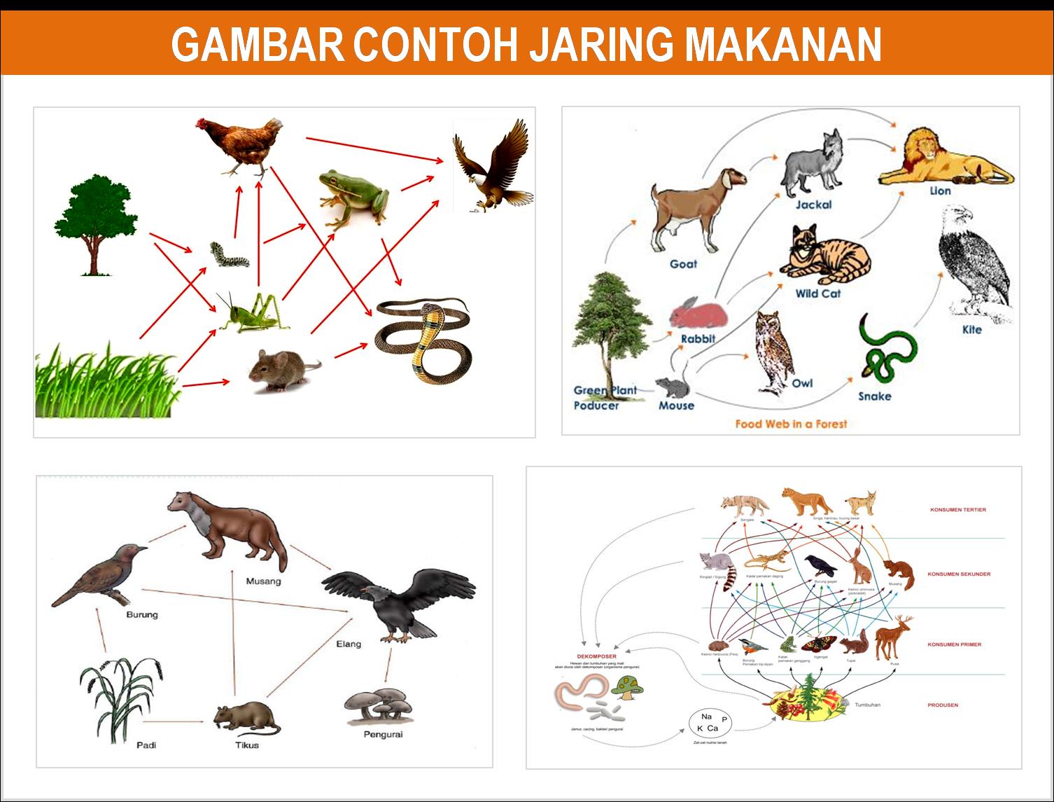 Gambar dan penjelasan piramida rantai dan jaring makanan freewaremini jaring makanan jumlah peristiwa rantai makanan di dalamnya sangat bervariasi tergantung berapa banyak organisme yang hidup pada sebuah ekosistem ccuart Gallery