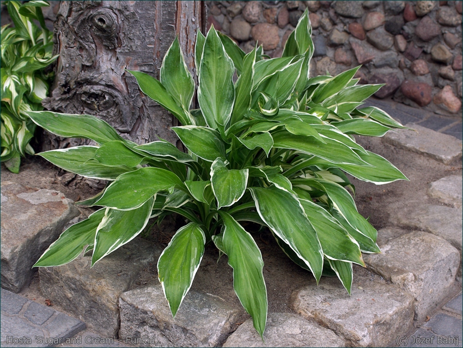 Hosta 'Sugar and Cream' - Funkia  pokrój