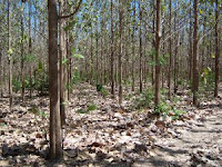 Typical teak plantation in Costa Rica