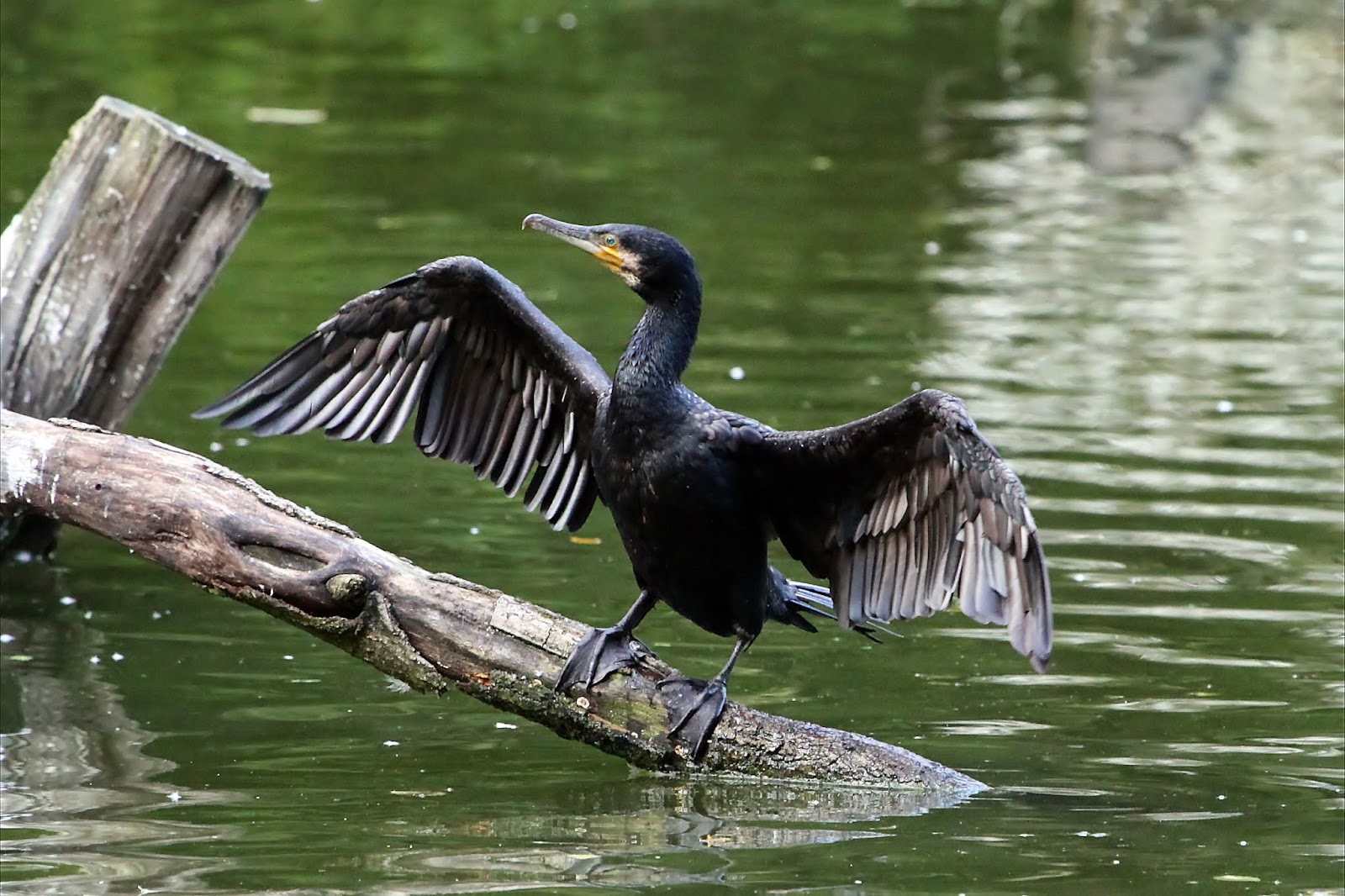 great cormorant (Phalacrocorax carbo) in the sun