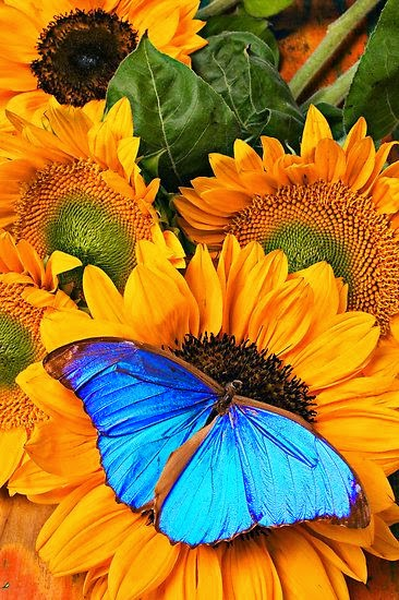 http://www.redbubble.com/people/photogarry/works/6985267-blue-butterfly-on-sunflower?ref=work_carousel_work_portfolio_1