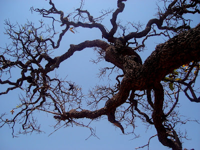 Árvore do Cerrado- galhos tortuosos e casca grossa.