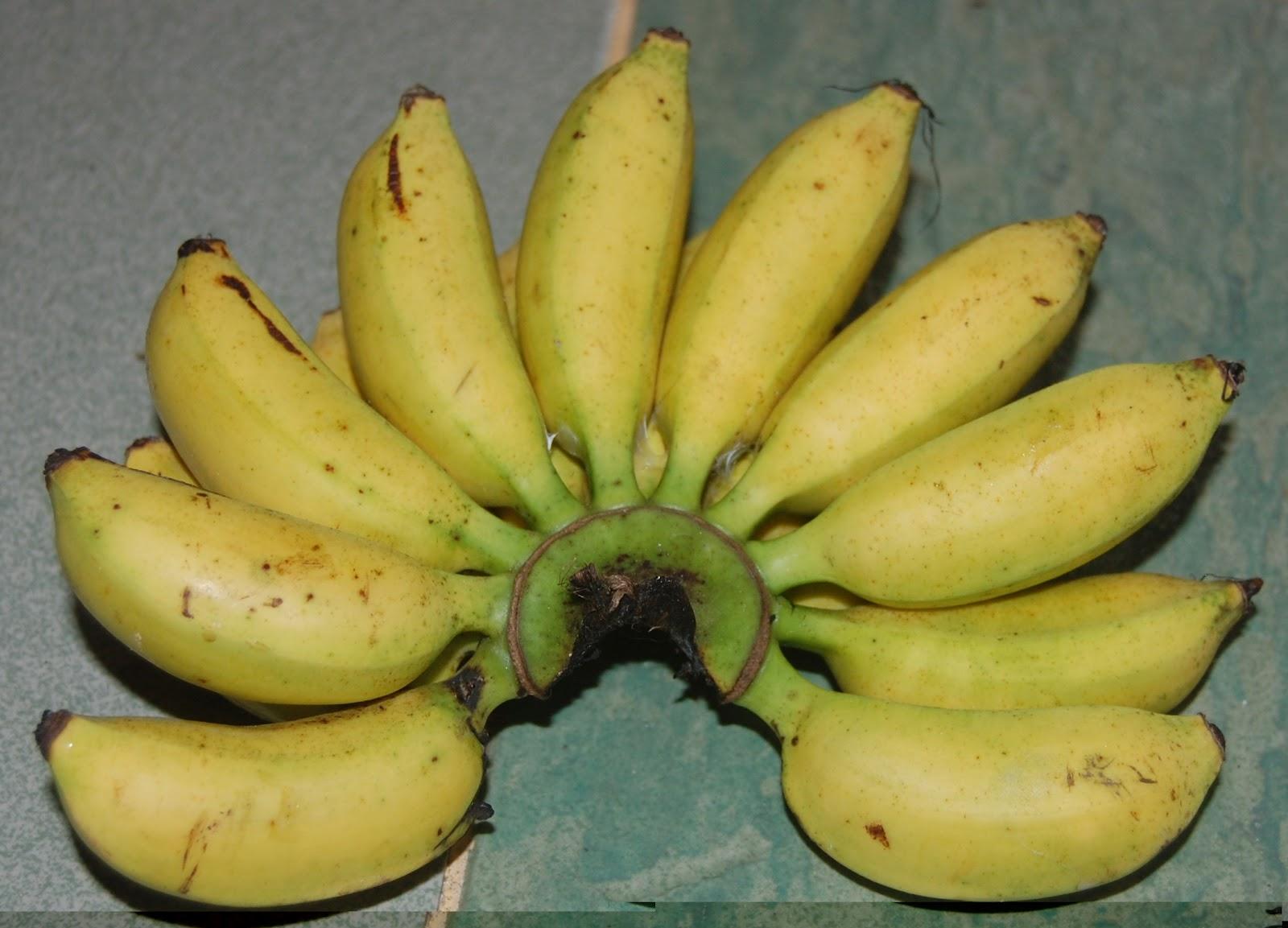 Suria Helang Lui Bananas Pisang Lemak Manis