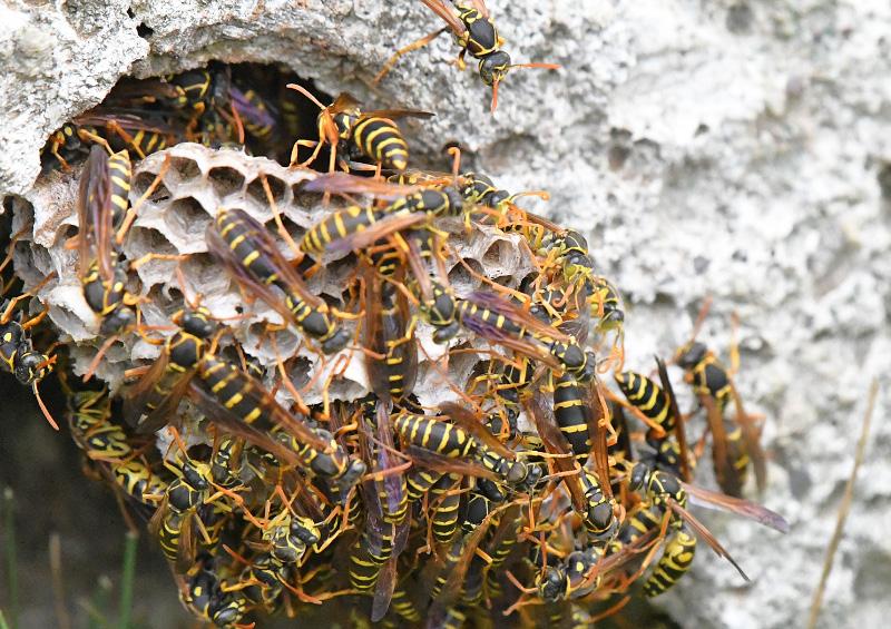 アシナガバチの画像 p1_17