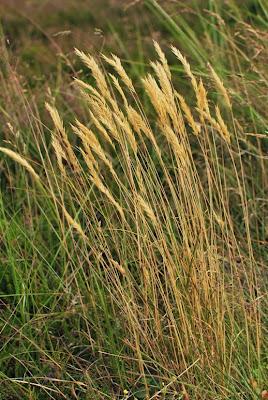 Jurmo - Tunnistamaton heinäkasvi