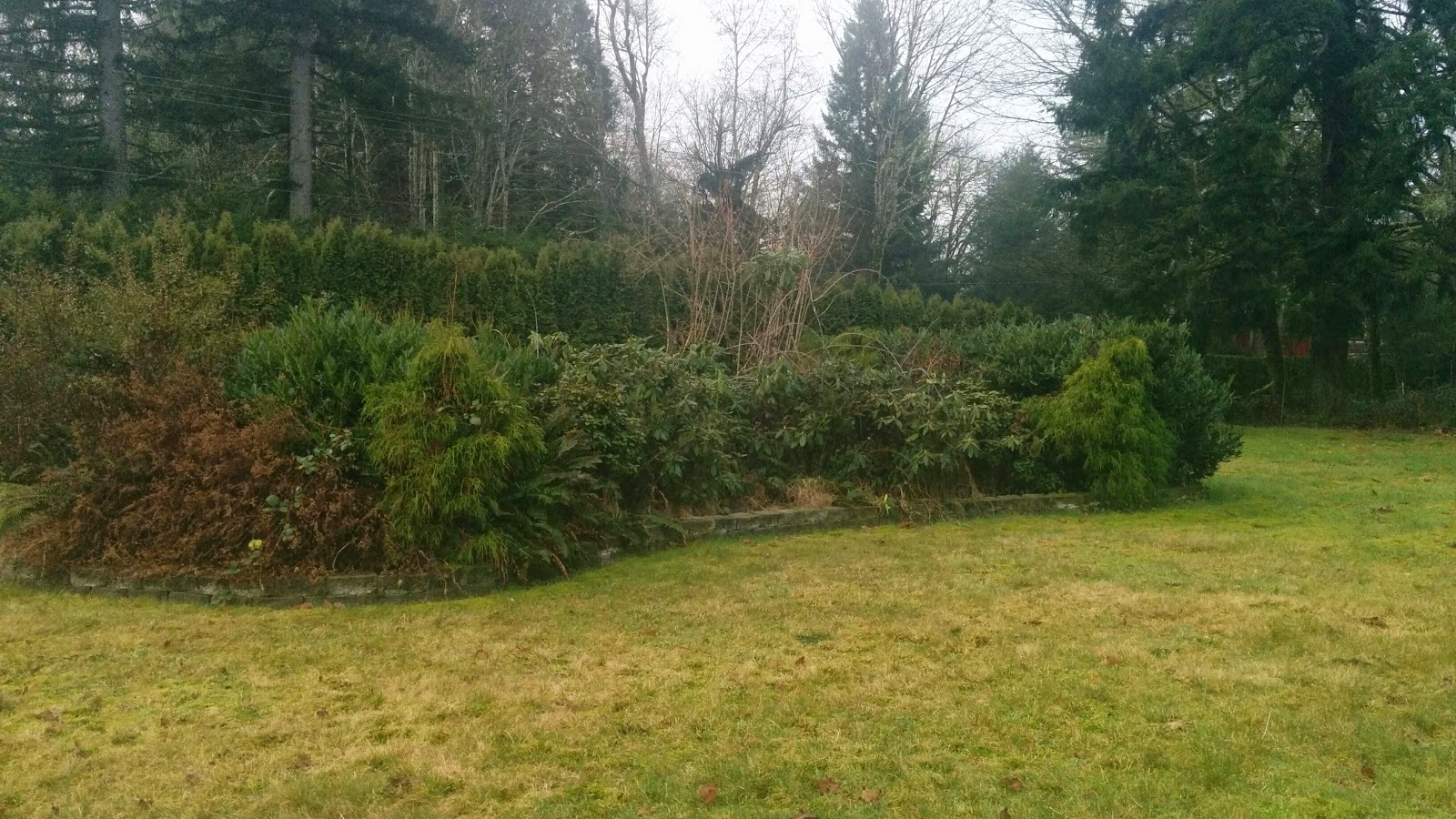 """A dense area of """"mature landscaping"""" that is unsightly and will be removed for garden beds."""