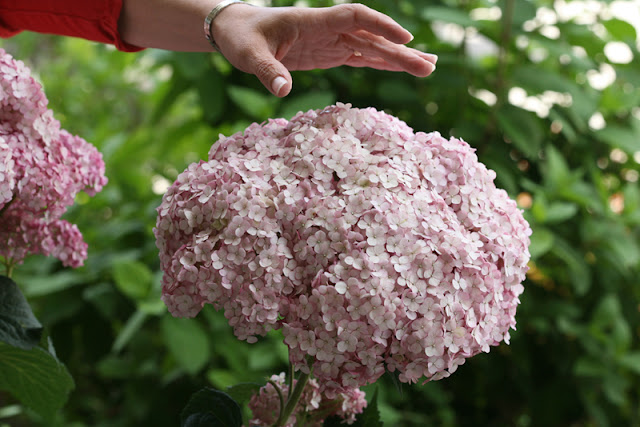 Incrediball Blush smooth hydrangea from Proven Winners