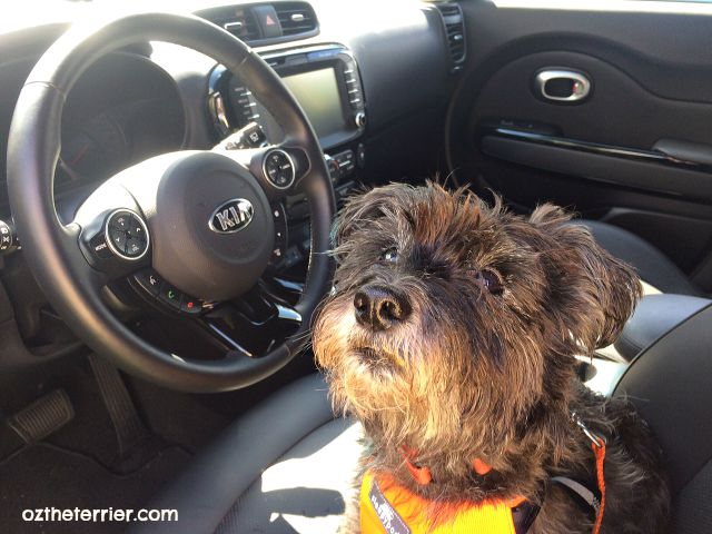 Oz the Terrier shows interior of 2015 Kia Soul with UVO eServices, 8-inch display and gadgets that are right in reach