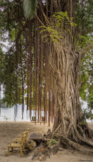 This photograph shows the majestic tree at Apulit Island Resort.