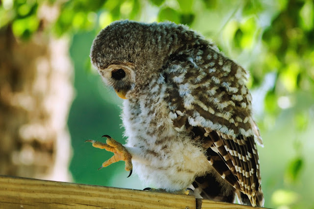 cute baby owl, funny animal pictures of the week