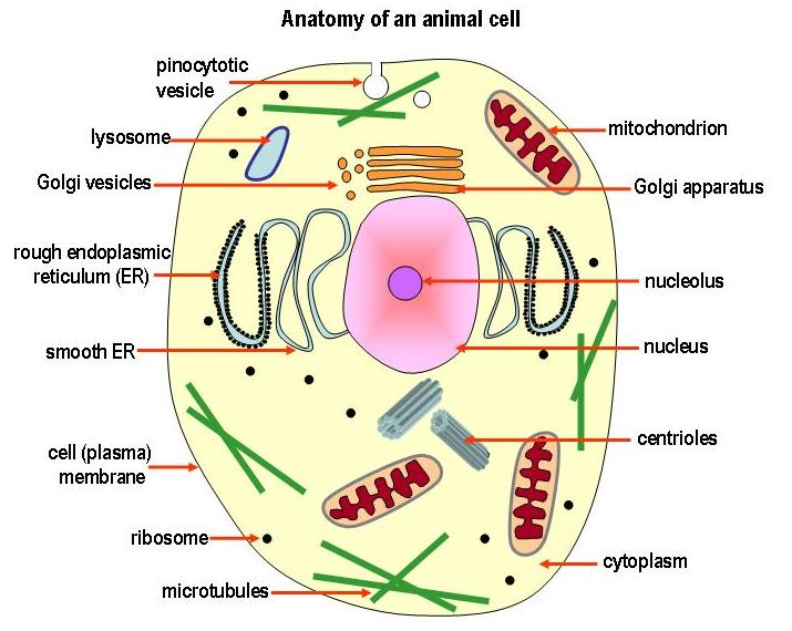 Animal cell nucleoplasm animal cell nucleoplasm photo27 ccuart Choice Image