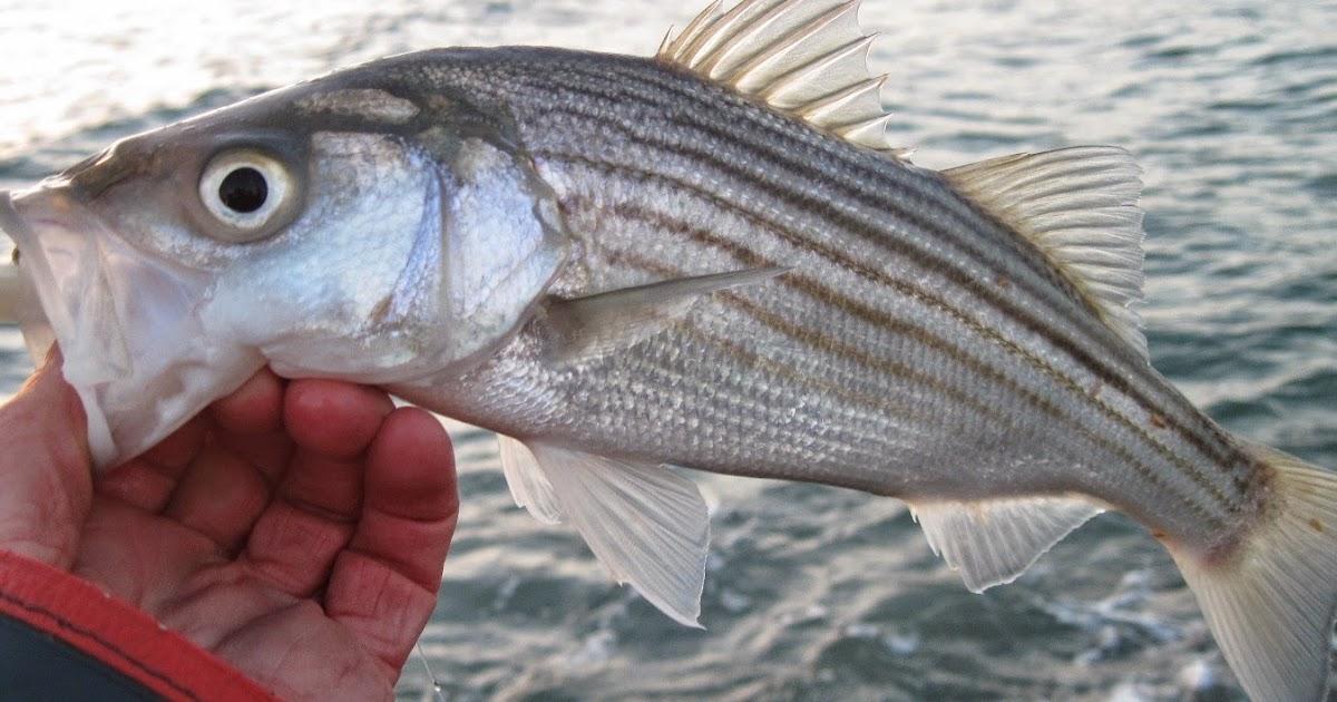 Rhode island striped bass schoolie fishing explodes for Striper fishing ri