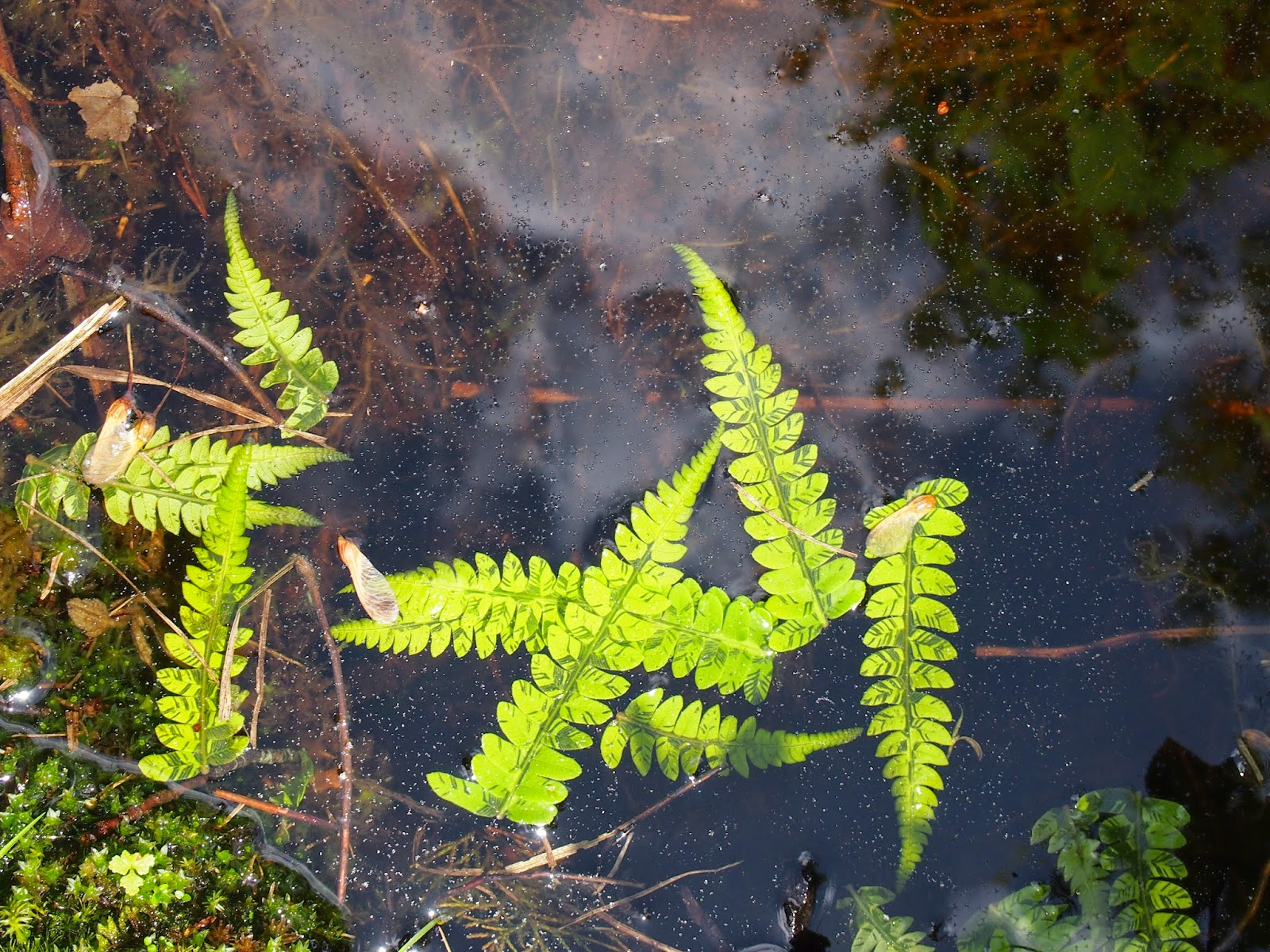 Ferns in the water at the Rhododendron Sanctuary