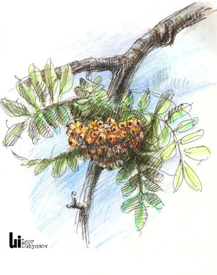 mountain ash tree sketch