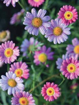 most perennial daisies prove themselves to be annuals in my garden if i cut them back before winter they die and if i donu0027t cut them back they die - Pretty Plants
