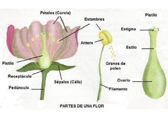 estambre pistilo las flor: