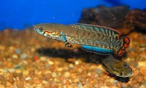 Joe 39 s aquaworld for exotic fishes mumbai india 9833898901 for Doctor fish for sale