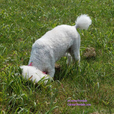 Poodle looking down a hole in the ground