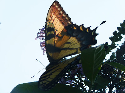 yellow female tiger swallowtail