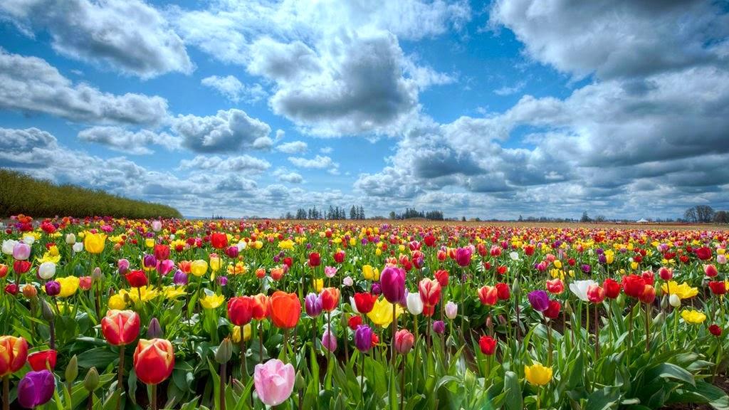 hình nền cánh đồng hoa tulip