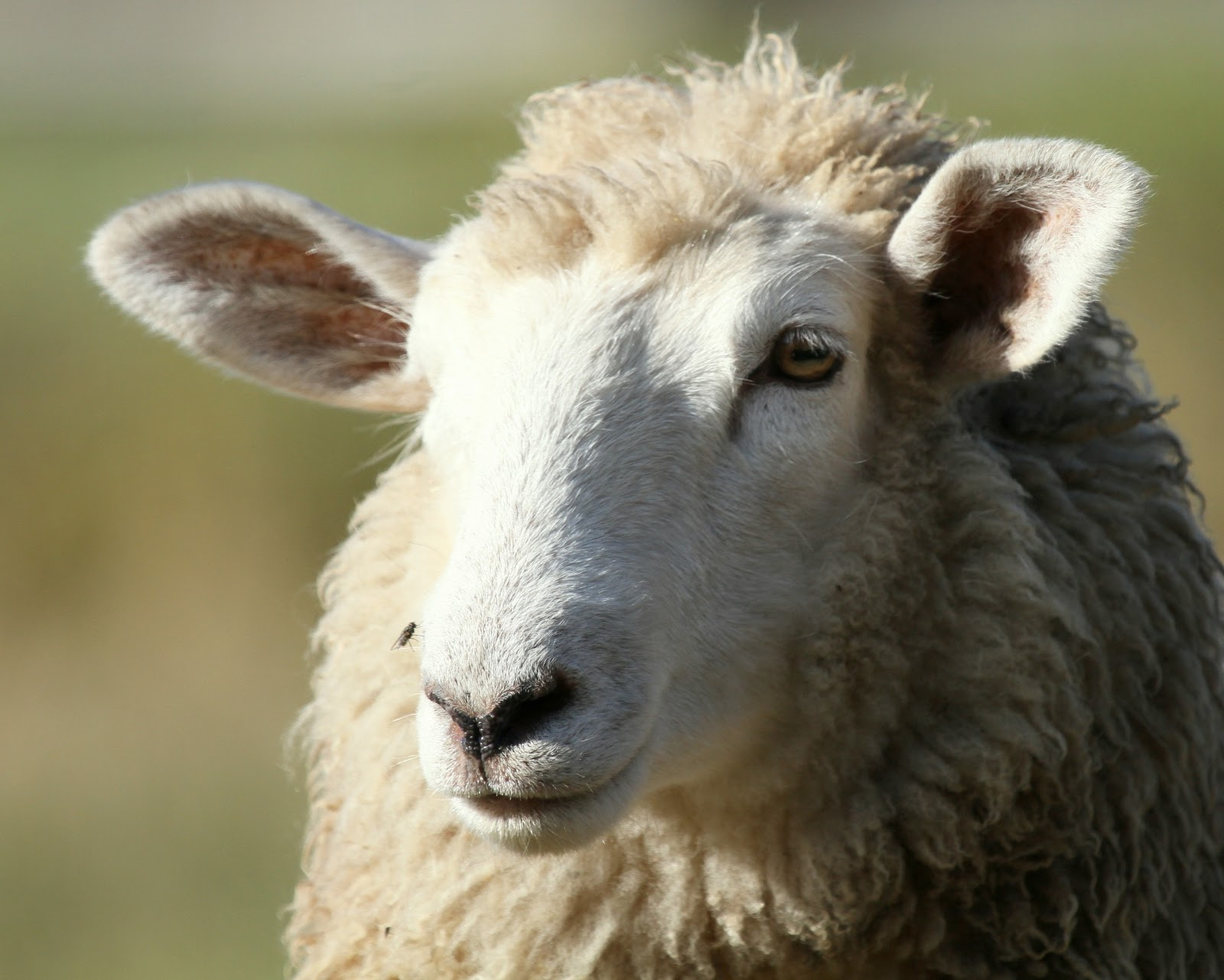 Displaying 18> Images For - Sheep Face...