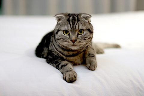 Gato da Raça Scottish Fold