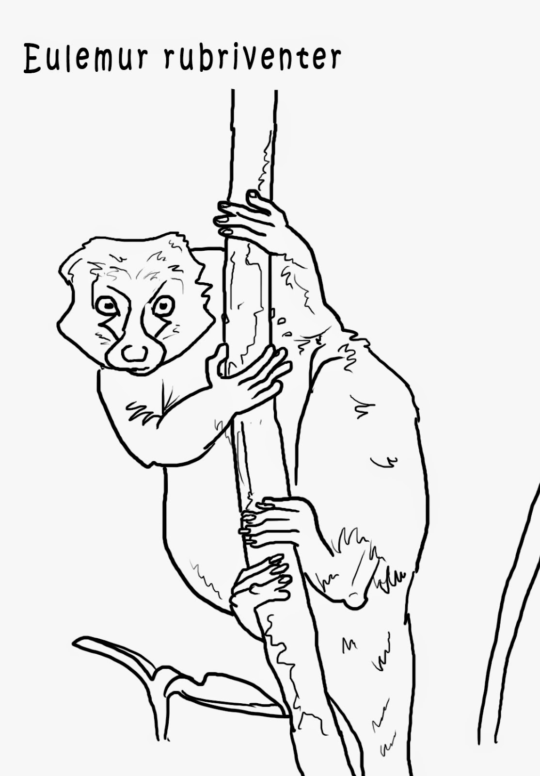 "<img src=""Eulemur Rubriverter.jpg"" alt=""Primates para colorear""/>"