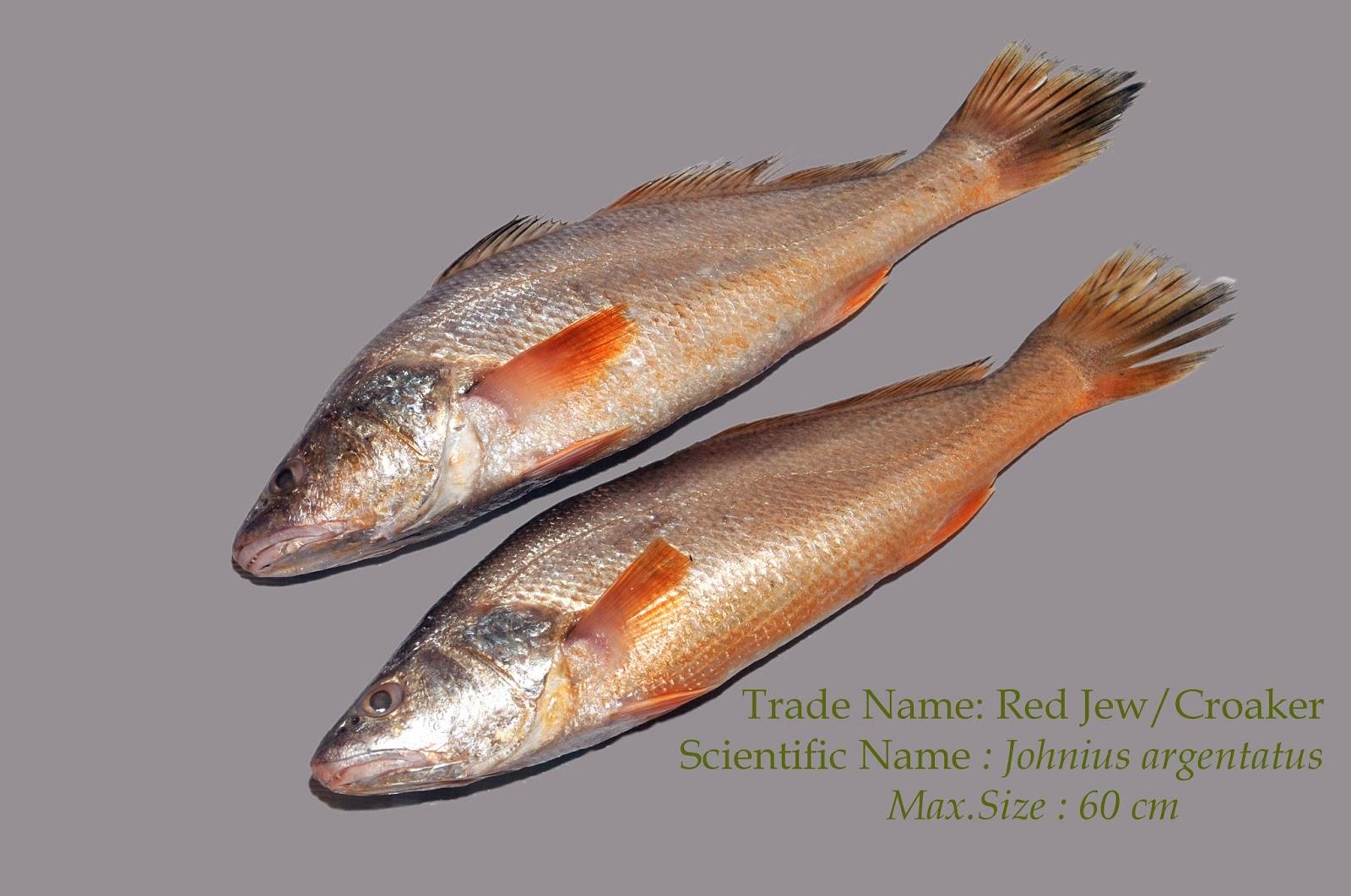 Yellow Croaker / Red Jewfish
