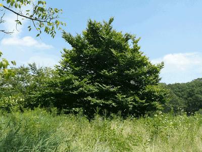 haya americana Fagus grandifolia