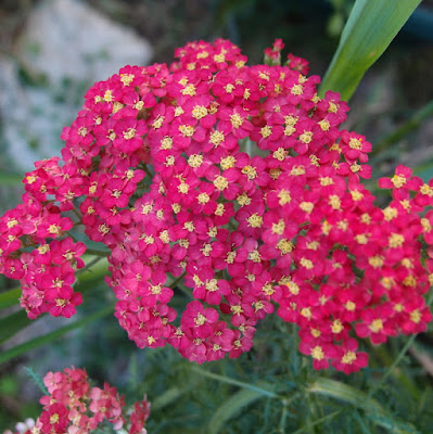 eight acres: how I use herbs - yarrow