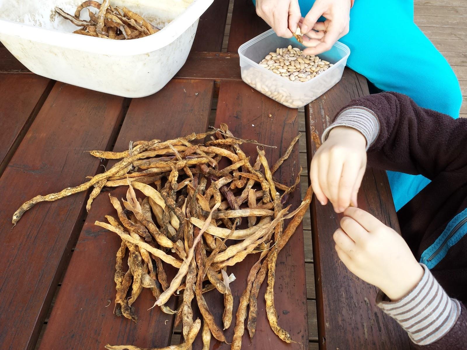 sklizeň fazolí