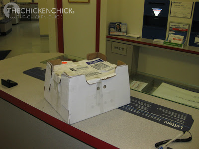 When baby chicks are expected by mail, arrange for the post office to call you for immediate pick-up.