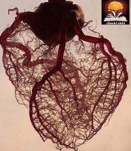 صورة لقلب بشري مصور بتقنية اظهار الأوعية الدموية واستبعاد الدهون والعضلات