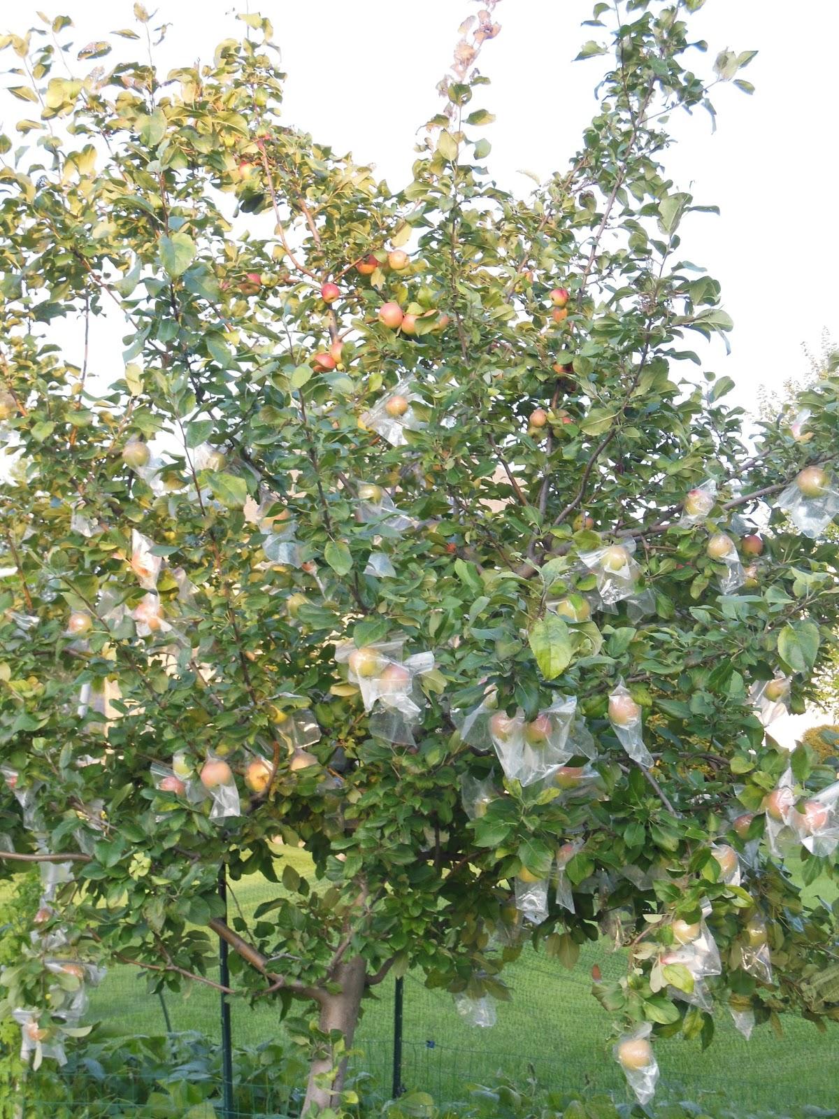 Honeycrisp apple tree on 8 15Zestar Apple Tree