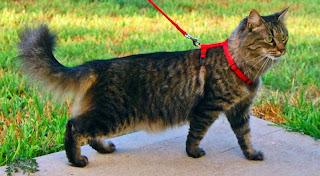 Féroces et indomptables, les chats seront promenés… en laisse