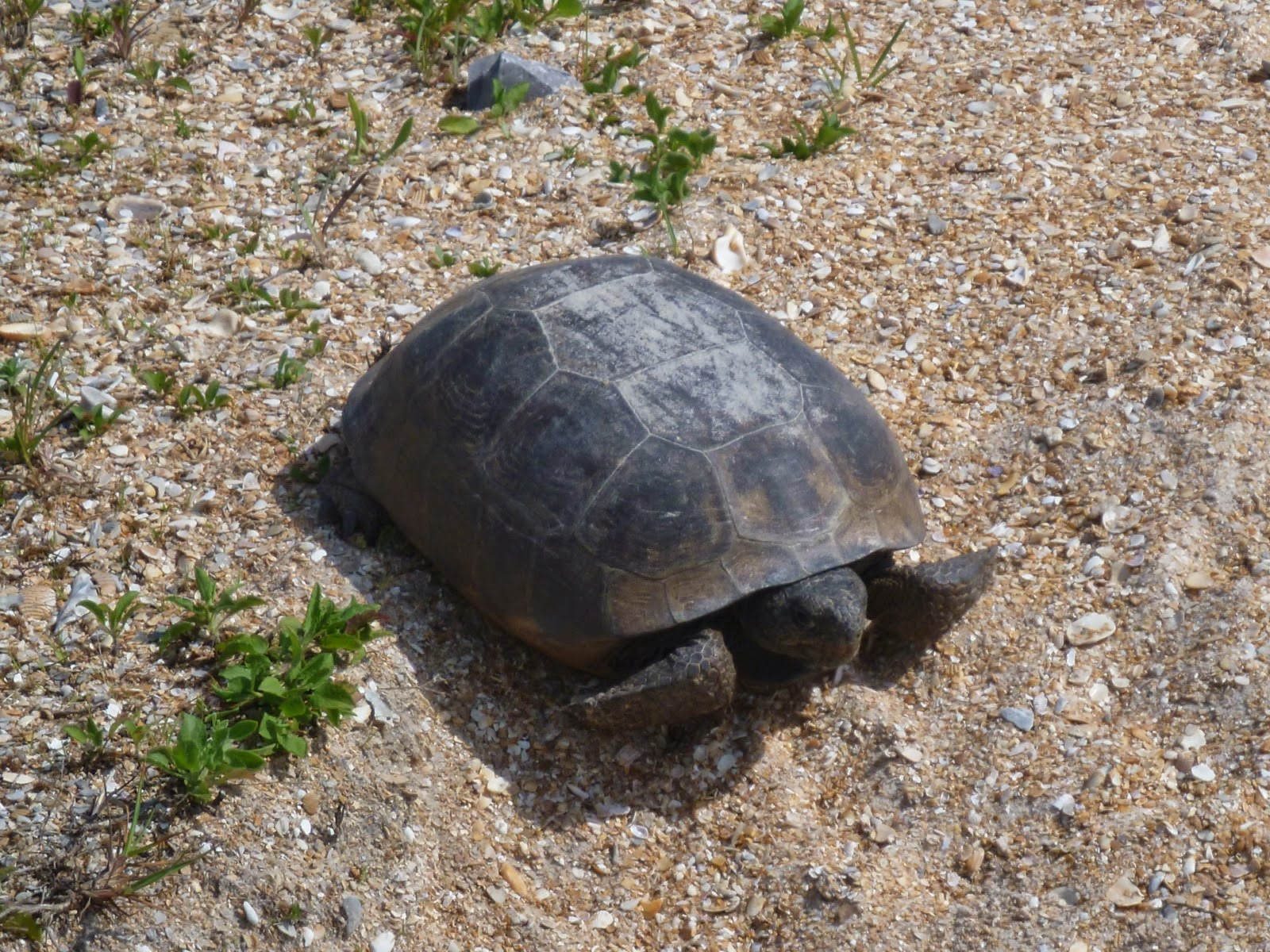 American Gopher Tortoise