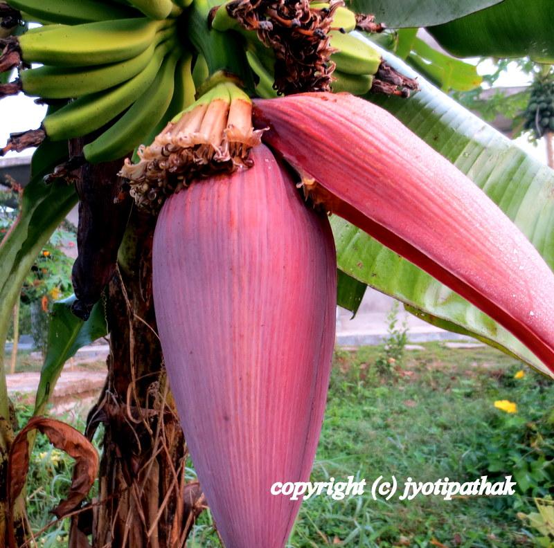 Taste Of Nepal Banana Blossom Keraa Ko Bungo क र क