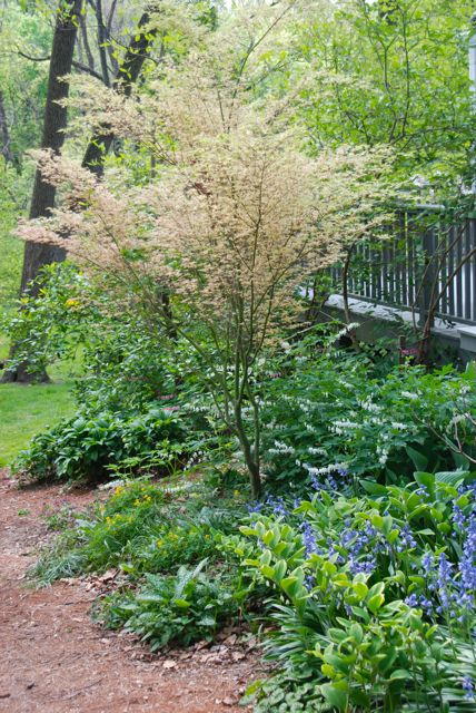 Carolyn's deck with a creamy maple tree (Acer 'Butterfly') and a perfect spring under-planting...