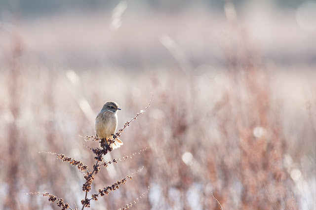 Female Stonechat using her tail for balance