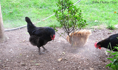 Mulch in landscaped beds doesn't stand a chance. Chickens will take dust baths in the location you least want them to.