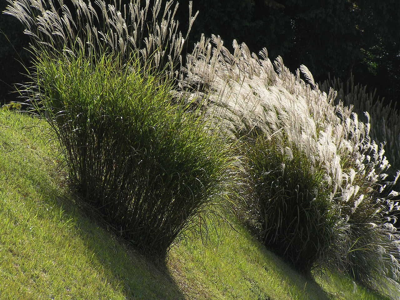 Knibb the pampas without the pompous for Japanese ornamental grass