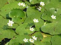 カガブタは1.5cmの可愛い花、準絶滅危惧植物に指定されている
