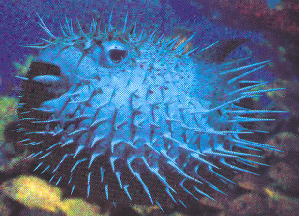 funny giant puffer fish funny animal