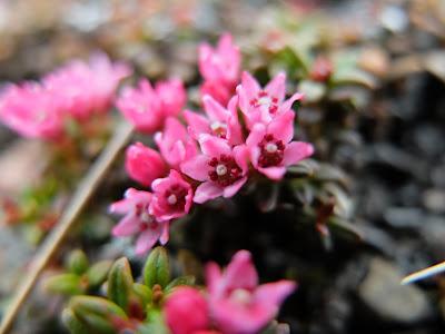 Kalmia procumbens or Loiseleuria procumbens – Trailing Azalea (#68)